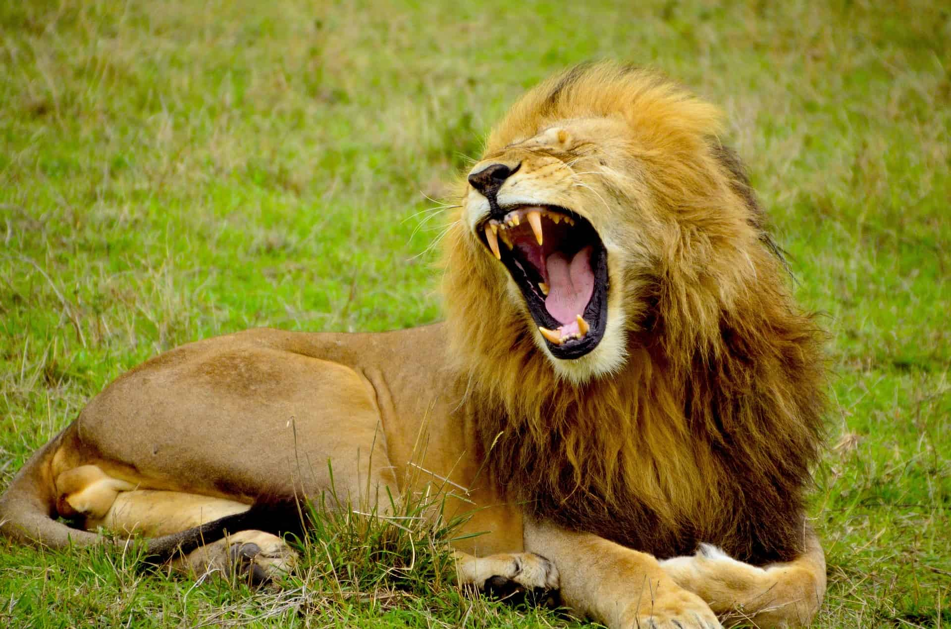 Every lion has a unique roar that can be tracked using AI